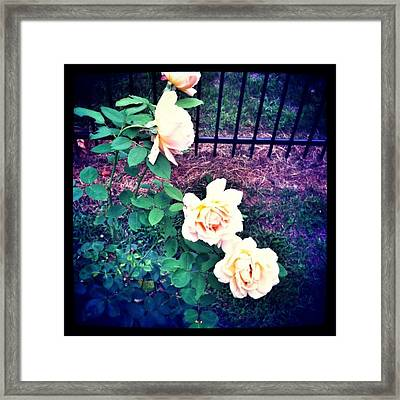 Roses In Bloom Framed Print by Amy Manley