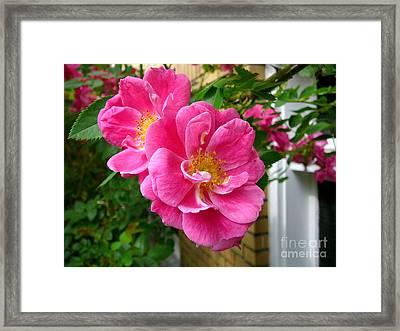 Roses In The Summer Framed Print by Anne Gordon