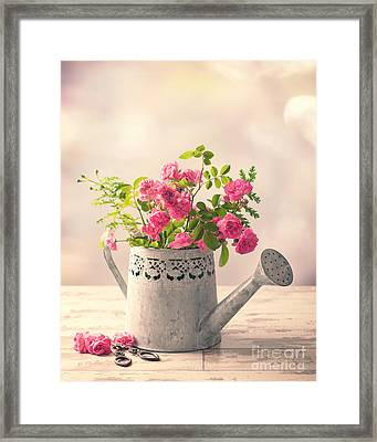 Roses In Watering Can Framed Print by Amanda Elwell