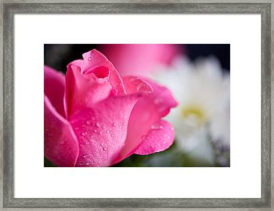Roses Framed Print by John Holloway