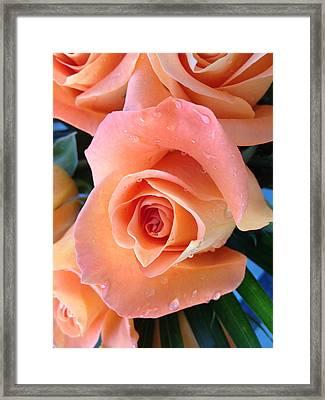 Roses Framed Print by Paula Brown