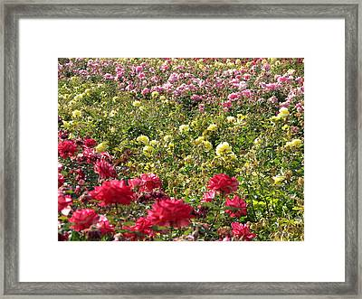 Framed Print featuring the photograph Roses Roses Roses by Laurel Powell