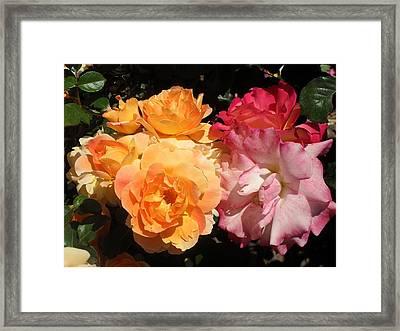 Roses Roses Roses Framed Print by Mark Barclay