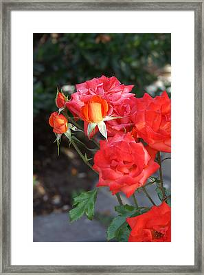 Roses- Rosey- All Red-almost Framed Print by Thomas D McManus