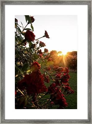 Roses Framed Print by Snow  White