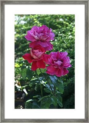 Roses Trio Framed Print by Thomas D McManus