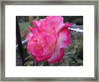Rosey Rose Framed Print