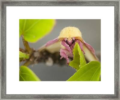 Rosy Maple Moth Framed Print by Kathryn Whitaker