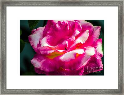 Rosy  Framed Print by Naomi Burgess