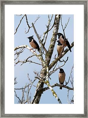 Rosy Starling (sturnus Roseus) Framed Print by Photostock-israel