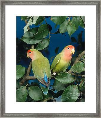 Rosyfaced Lovebirds Framed Print