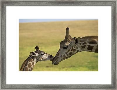 Rothschild Giraffe Male Calf Nuzzling Framed Print