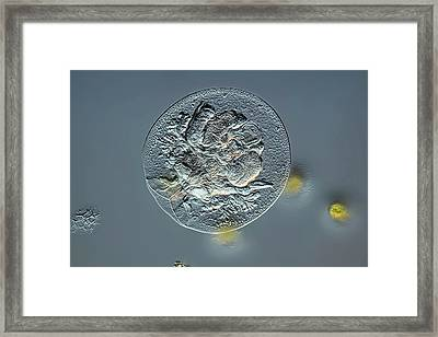 Rotifer Framed Print by Frank Fox