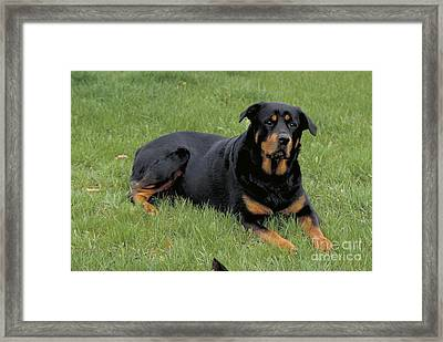 Rottweiler Bitch Framed Print by Larry West