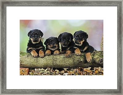 Rottweiler Puppies Framed Print by John Daniels