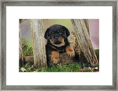 Rottweiler Puppy Dog Framed Print by John Daniels