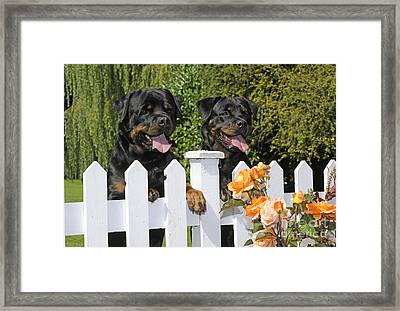Rottweilers Looking Over Fence Framed Print by John Daniels