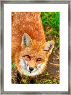 Rouge Renard Framed Print by Joshua McCullough