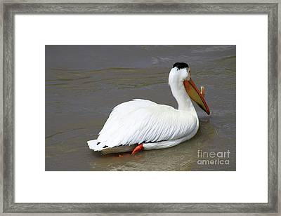 Framed Print featuring the photograph Rough Billed Pelican by Alyce Taylor