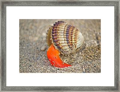 Rough Cockle Sea Shell Out Of Its Armor Framed Print