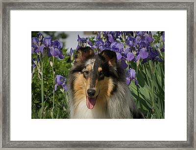 Rough Collie By Iris Flower Bed Framed Print