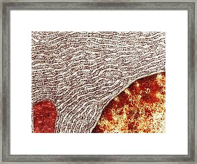 Rough Endoplasmic Reticulum Framed Print by Ammrf, University Of Sydney