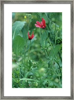Rough Poppies (papaver Hybridum) Framed Print by Bob Gibbons/science Photo Library