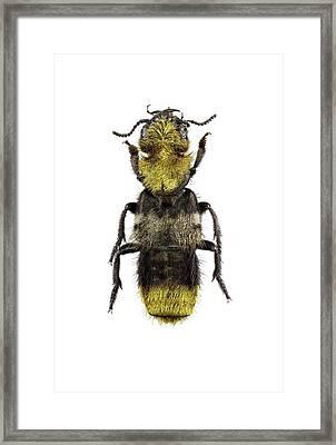 Rove Beetle Framed Print