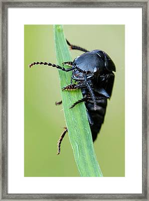 Rove Beetle Framed Print by Heath Mcdonald