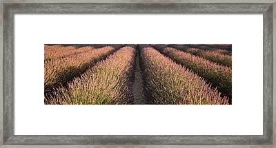 Rows Lavender Field, Pays De Sault Framed Print