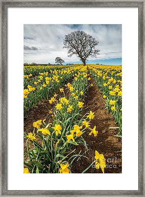 Rows Of Daffodils Framed Print