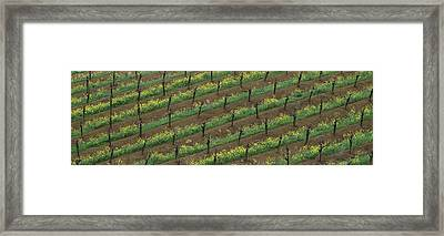 Rows Of Grape Vines With Mustard Framed Print
