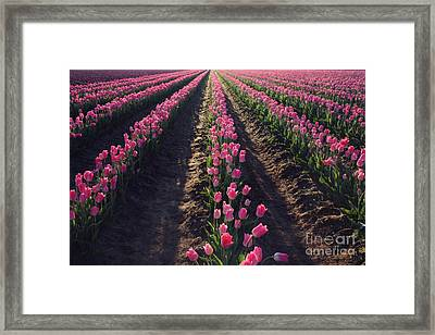 Framed Print featuring the photograph Rows Of Pink by Sylvia Cook