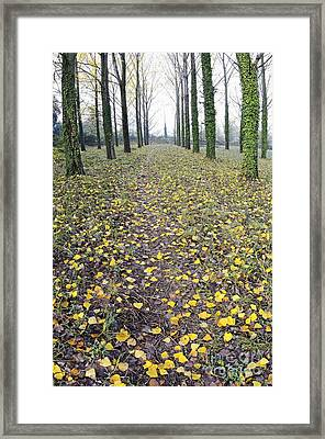 Rows Of Trees With Yellow Leaves And Ivy At Fall Framed Print by Sami Sarkis