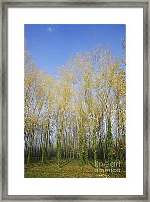 Rows Of Trees With Yellow Leaves Framed Print by Sami Sarkis
