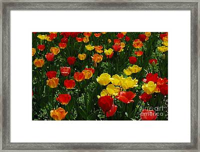Rows Of Tulips Framed Print by Kathleen Struckle