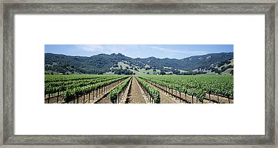 Rows Of Vine In A Vineyard, Hopland Framed Print