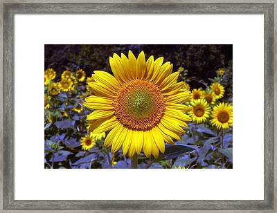 Framed Print featuring the photograph Roxanna Sunflower by Bill Swartwout
