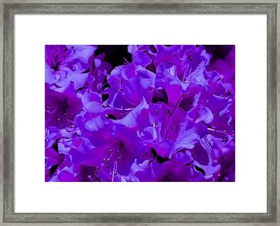 Royal Azaleas Framed Print by Deena Stoddard