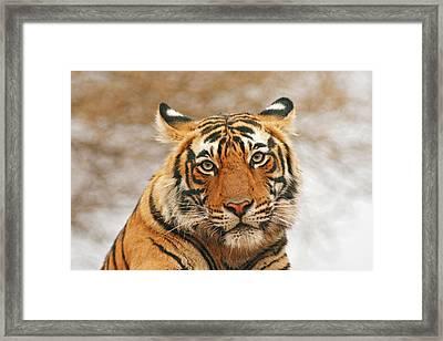 Royal Bengal Tiger - A Portrait Framed Print by Jagdeep Rajput