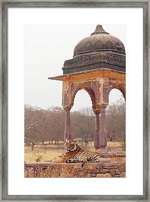 Royal Bengal Tiger At The Cenotaph Framed Print
