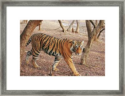 Royal Bengal Tiger Coming Framed Print by Jagdeep Rajput