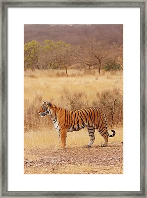 Royal Bengal Tiger In The Dry Framed Print by Jagdeep Rajput