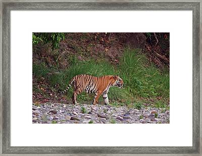 Royal Bengal Tiger On The Riverbed Framed Print