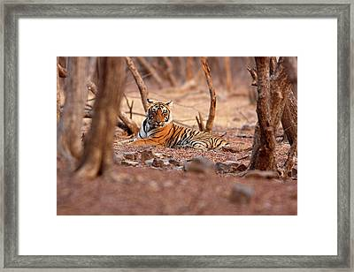Royal Bengal Tiger, Ranthambhor Framed Print