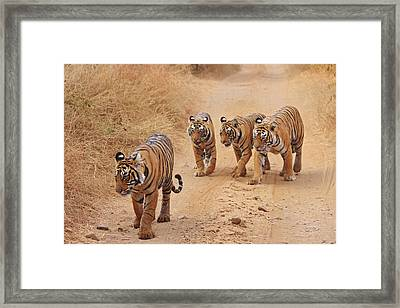 Royal Bengal Tigers On The Track Framed Print by Jagdeep Rajput