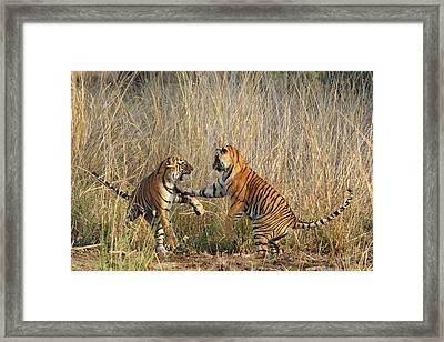 Royal Bengal Tigers Play-fighting Framed Print by Jagdeep Rajput
