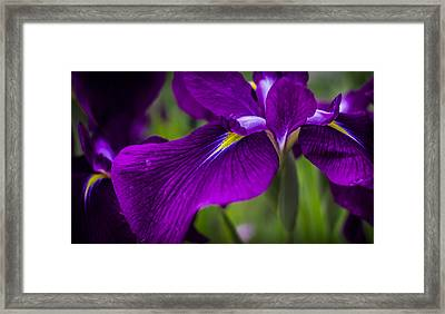 Royal Iris Framed Print