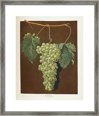 Royal Muscadine Framed Print by British Library