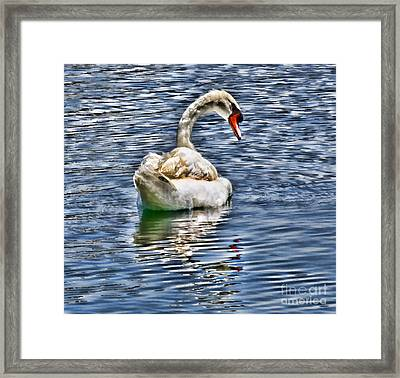 Royal Muted Swan Swimming On Lake Eola Framed Print by Diana Sainz